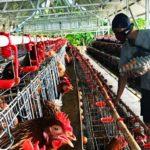 Peternak ayam petelur di Desa Kacangan sedang memberi makan pada ayam/ist